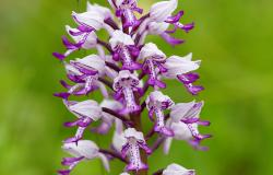 images/Fotos/Natur/Alpenflora/thumbs//helm-orchis.jpg