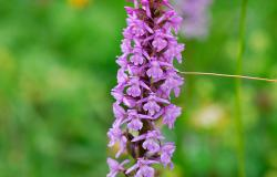 images/Fotos/Natur/Orchideen/thumbs//Handwurz-Orchidee.jpg