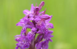 images/Fotos/Natur/Orchideen/thumbs//breitblaettriges-Knabenkraut-DSC_6924.jpg