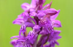 images/Fotos/Natur/Orchideen/thumbs//breitblaettriges-Knabenkraut-DSC_6930.jpg