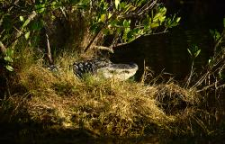 images/Fotos/Natur/Tierwelten/thumbs//Alligator-DSC_4536.jpg