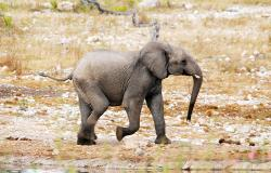 images/Fotos/Natur/Tierwelten/thumbs//Elefant-jung.jpg