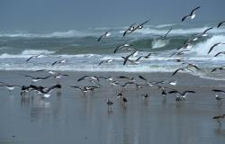 images/Fotos/Natur/Tierwelten/thumbs//Seagull_Cape-Canaveral_4819.jpg