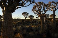 images/Fotos/Reisen/Namibia/thumbs/farbspektrum-Koecherbaeume.jpg